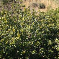 Vegetazione e germinazione del Mirto di Sardegna 1